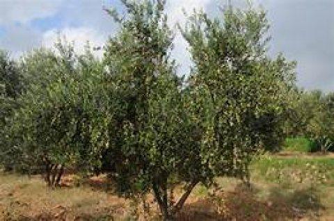 250 هكتار أشجار مثمرة 31 ألف شجرة زيتون ....