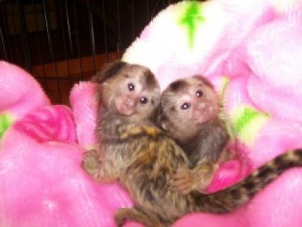 Marmoset Monkeys for pet lovers
