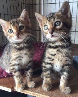 من الذكور والإناث F1 السافانا القطط للبيع