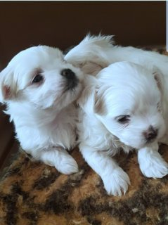 Two Teacup Maltese Puppies For Sale