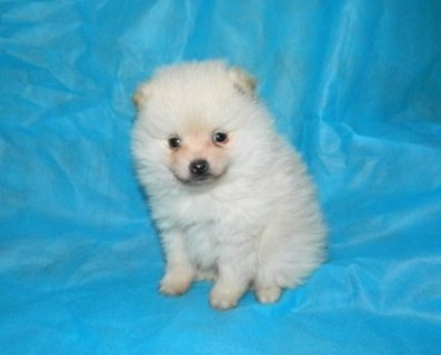 Teacup Pomeranian Puppies