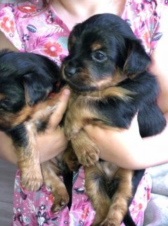 Registered Yorkie Puppies for Sale