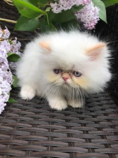 Persian Kittens Currently Available For Sale