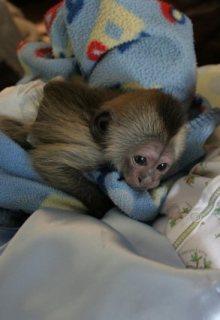 Tamed Capuchin Monkeys For Sale