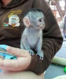Perfect Capuchin Monkeys For Sale