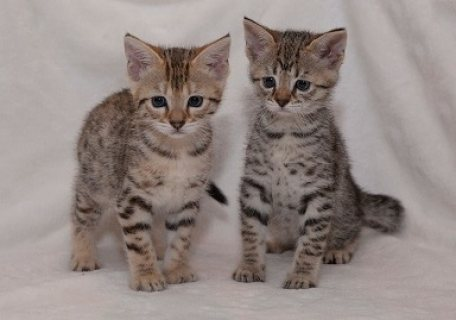 Savannah kittens for good homes