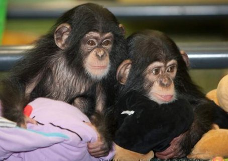 chimpanzees for sale