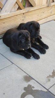 Cane Corso Puppies for adoption