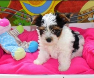 Biewer terrier Puppies Ready For Re-homing