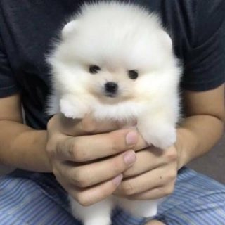 Amazing Micro Teacup Pomeranian puppy