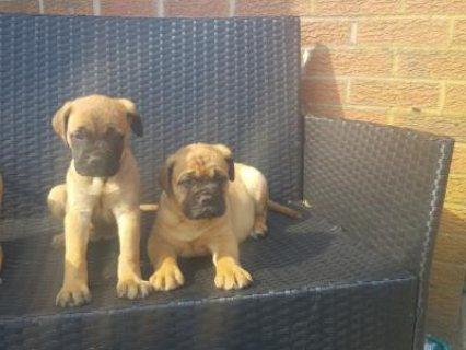 BullMastiff Puppies For Adoption
