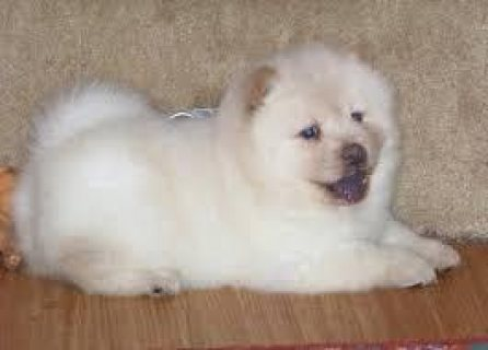 chow chow puppies for adoption Ready Now