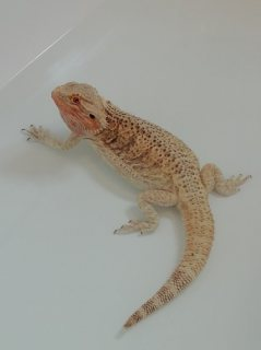 Beautiful Bearded Dragon For Sale.