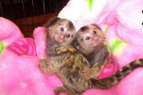 Lovely Marmoset monkey for sale