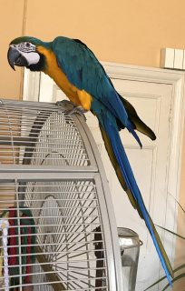 Blue And Gold Macaw Parrot for sale.