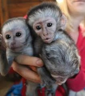 Adorable Capuchin and Squirrel Monkeys