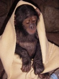 My husband and I are giving out a Cute baby Chimpanzees for Adoption
