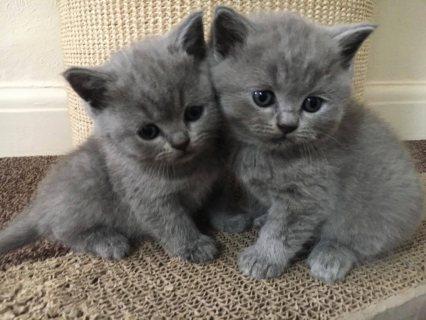 Lovely British Shorthair Kittens For Sale.