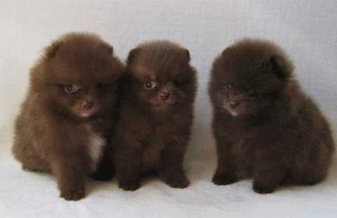Chocolate Pomeranian Puppies For Sale.