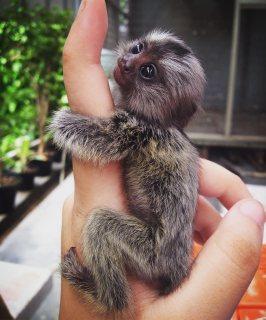 قرود إصبع marmoset متاحة الآن