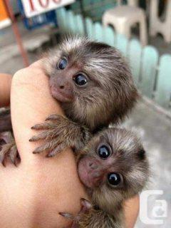 الذكور والإناث قرود marmoset إصبع المتاحة الآن