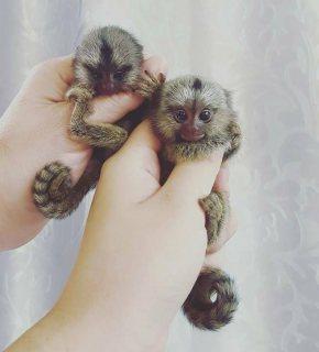 قرود marmoset صحية متاحة الآن
