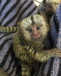 قرود marmoset ودية وتطعيم متاحة الآن