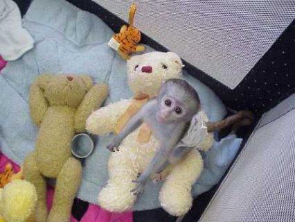 ترويض كابوتشين القرود للبيع