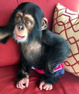 trained female baby chimpanzee monkey looking for a new