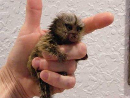 Marmoset Monkeys available