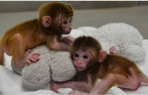 القرد الطفل القرد