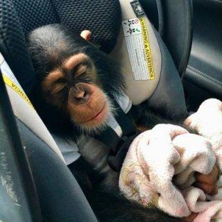 الشمبانزي مذهلة المتاحة ،