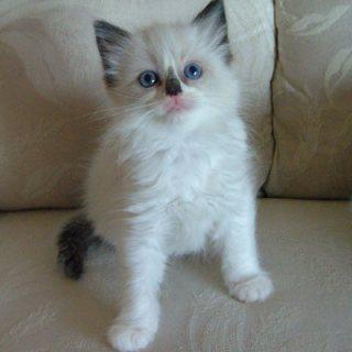 القطط دوول جميل المتاحة للبيع