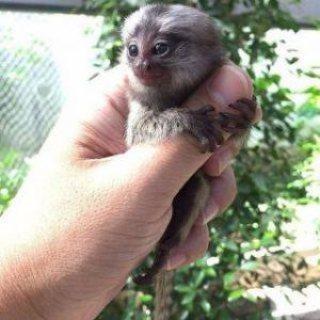 القرود marmoset مذهلة للبيع