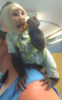 We have beautiful and well train Capuchin monkeys available for sale