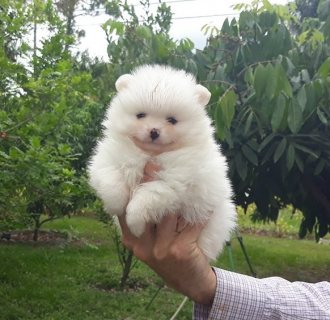 Super cute teacup Pomeranian puppies available for sale.