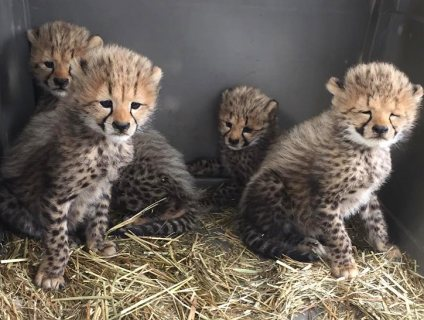 cheetah cheetah cheetah cheetah cubs F/M available now