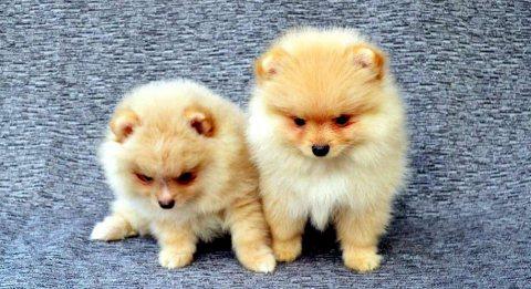 كوب من الجراء كلب صغير طويل الشعر الأبيض الحلو المتاحة.