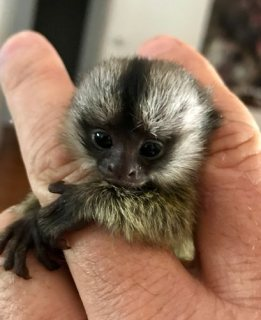 القرود marmoset رائعتين للبيع