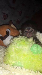 قرود مرموست القرود للبيع