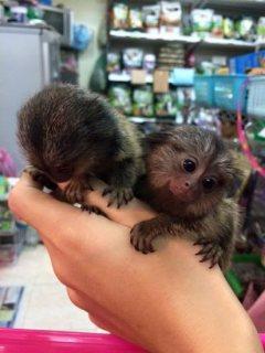 القشة قرد أميركي. marmoset male and fema;le