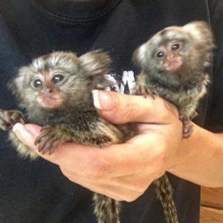 قرود الاصبع الجميلة المتاحة. marmoset monkeys available