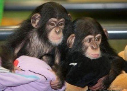 قرود الشمبانزي المتاحة