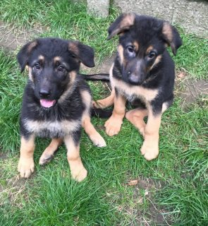 German Shepherd puppies up for sale. They are well trained,