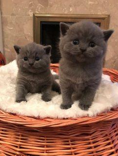 male and female available..القطط البريطانية الشعر القصير للبيع.