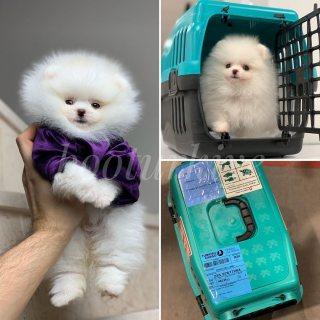 Kc مسجلة كلب صغير طويل الشعر الصغيرة الجراء