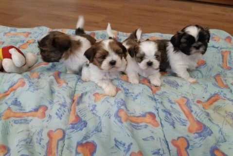 Shih Tzu dogs available