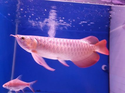 we make out the best selection of our arowanas for sale