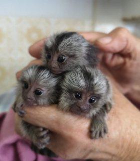 القرود الماموسية ذات الجودة العالية والمتاحة للبيع.