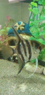 Angelfish for sale.